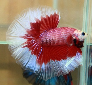 red and white Betta Fish